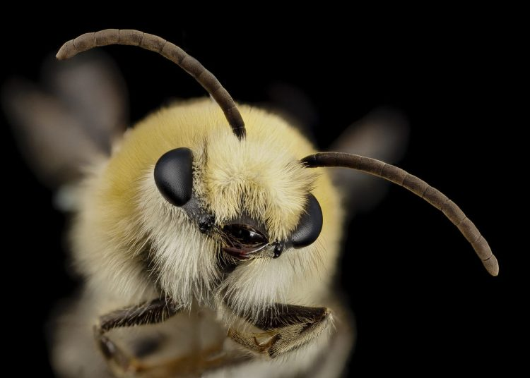 Bees recognize faces
