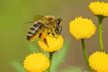 How do bees pollinate flowers