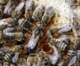 Move over ducks, Queen Bees quack too! [Here's Why]